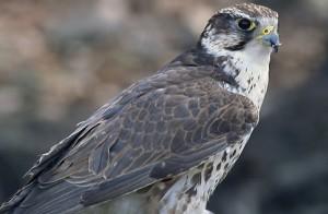 The European Saker falcon